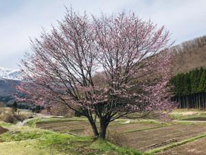 Sakura_20190428